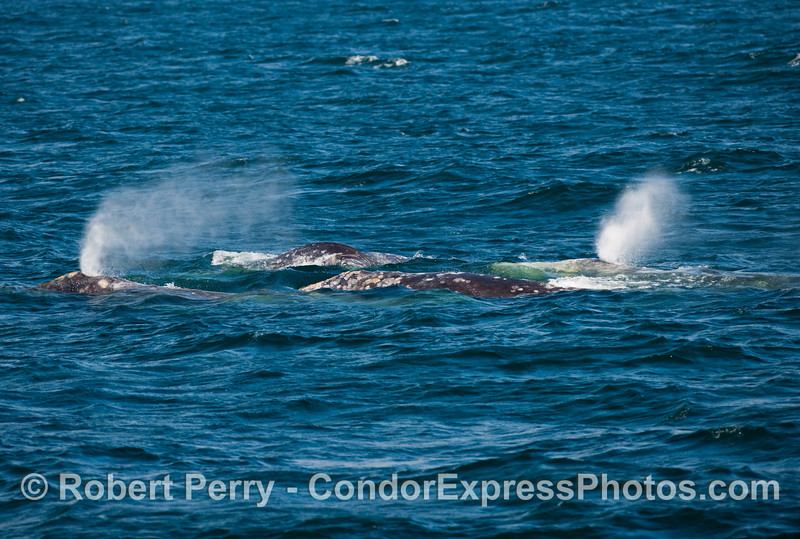 Okay, this is what the northbound migration is all about:  FOUR Gray Whales (Eschrichtius robustus) on the surface in one lens.