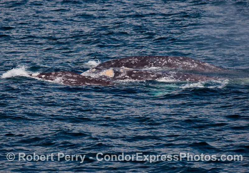 Three Gray Whales (Eschrichtius robustus) stacked up close together, side-by-side.