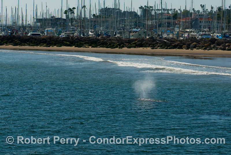 This is the Gray Whale (Eschrichtius robustus) that has been swimming around the mouth of Santa Barbara Harbor for almost a week.