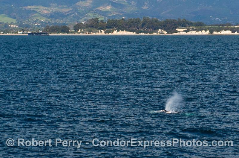 Spouting Gray Whale (Eschrichtius robustus) with the Goleta Pier in back.