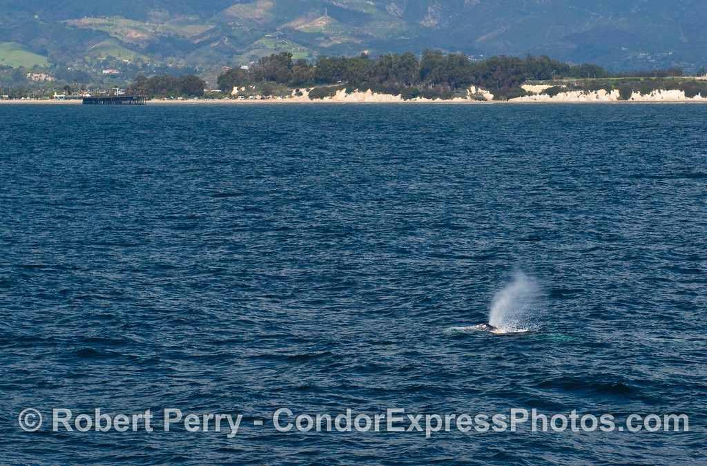 Spouting Gray Whale (Eschrichtius robustus) with the Goleta Pier in back.
