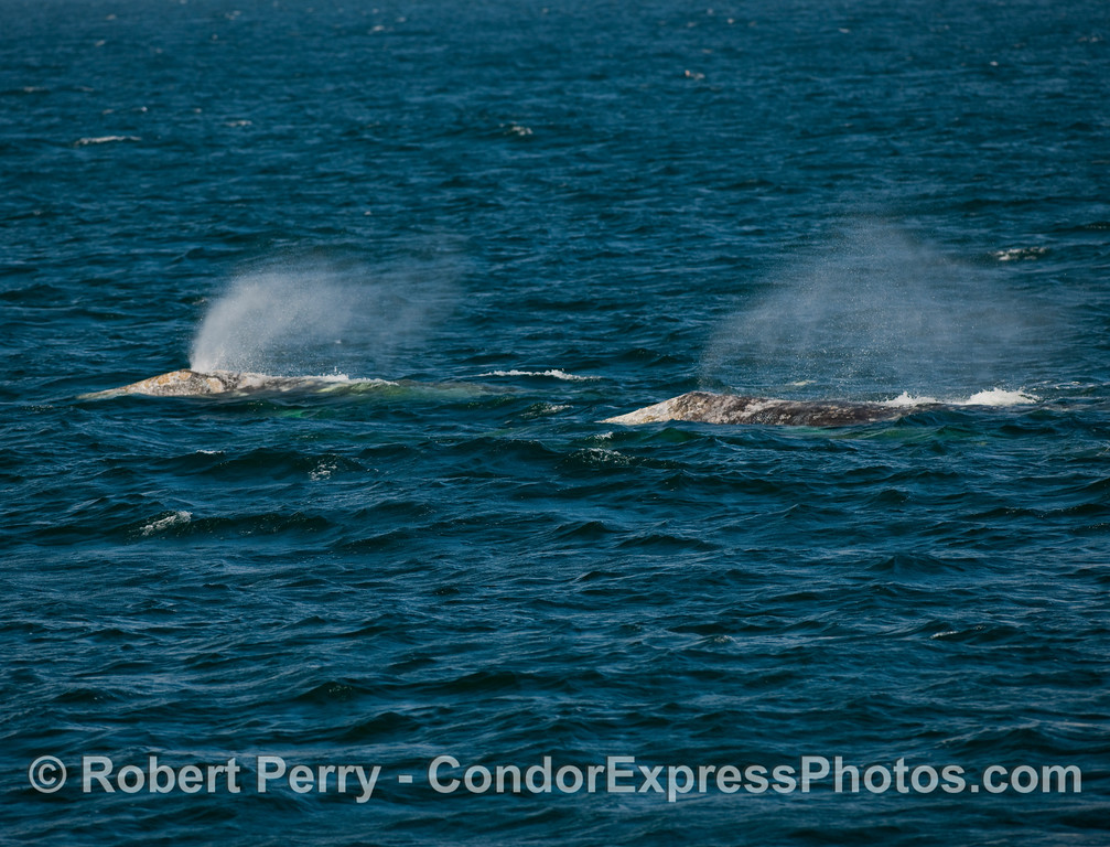 Two Gray Whale (Eschrichtius robustus) spouts in a line; west winds blowing strong.