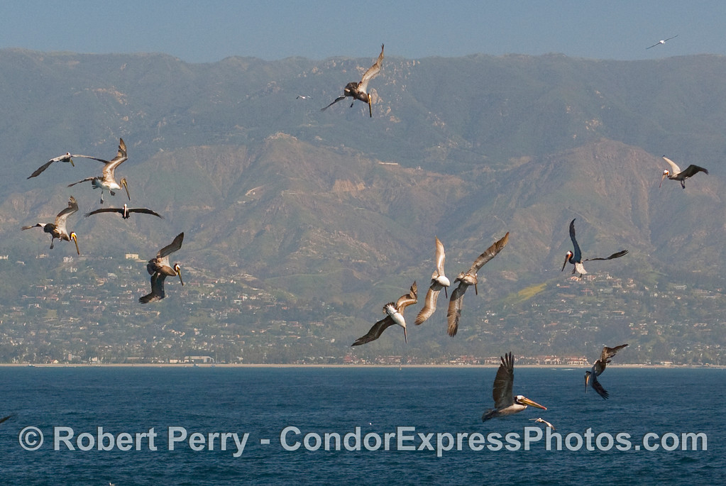 Brown pelicans (Pelecanus occidentalis) perform aerial gyrations as the circle a bait ball on an ocean hot spot.