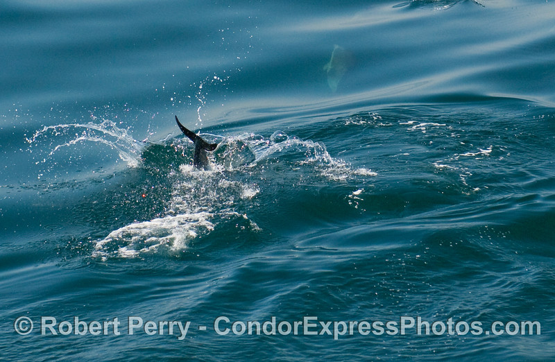 A common dolphin (Delphinus capensis) tail.  (You can barely make out another animal below the surface too).