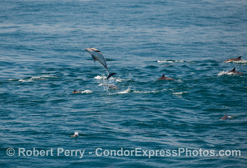 Common dolphins (Delphinus capensis) on the move, with one show-off.