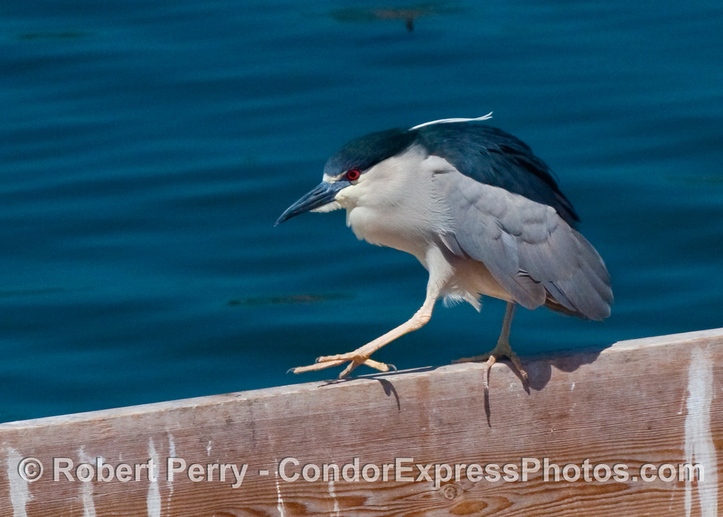 A black crowned night heron (Nycticorax nycticorax), walks along a beam.