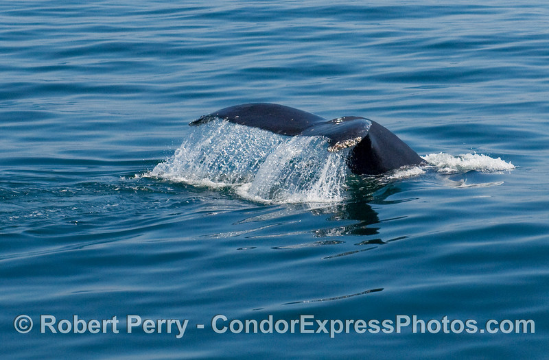 Tail fluke of a Humpback whale (Megaptera novaengliae) on a glassy blue ocean surface.