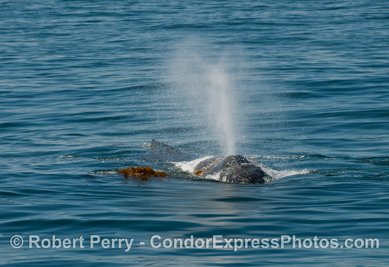 Humpback whales (Megaptera novaengliae) love to play in the giant kelp (Macrocystis pyrifera), which makes for great photo opp's.