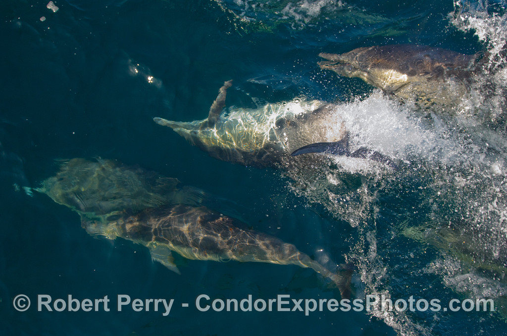 Enlarge this one and see complete common dolphin (Delphinus capensis) pandamonium.