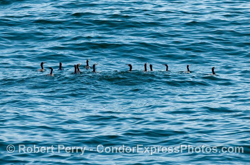 A hunting party of Brandt's Cormorants (Phalocrocorax penicillatus).