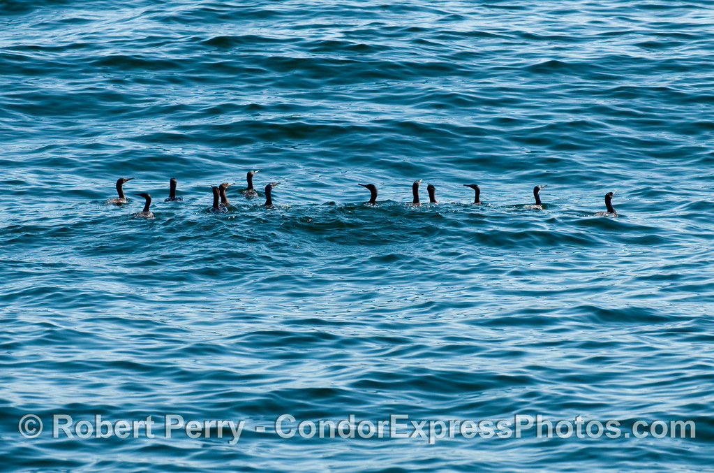 A hunting party of Brandt's Cormorants (Phalocrocorax penicillatus).