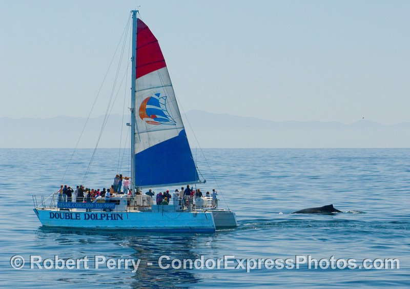 Boat gets a visit from a Humpback Whale (Megaptera novaengliae).