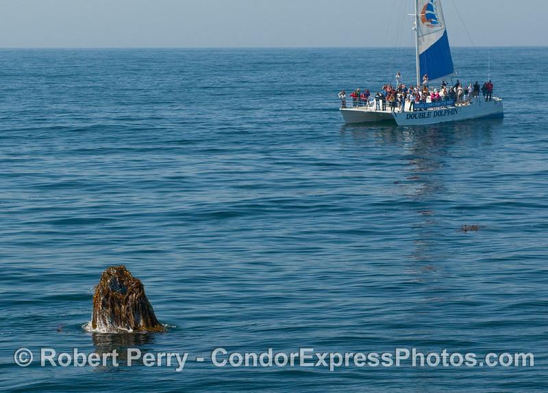 A sailboat takes a peak at a Humpback whale (Megaptera novaengliae) with giant kelp (Macrocystis pyrifera) all over its head.