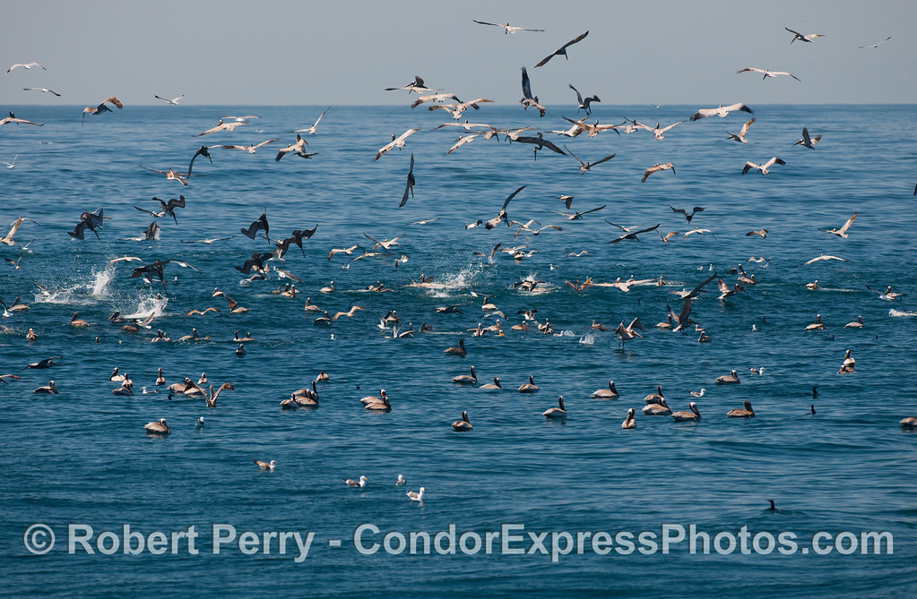 Brown pelicans (Pelecanus occidentalis) on a hot spot of anchovies and common dolphins (Delphinus capensis).