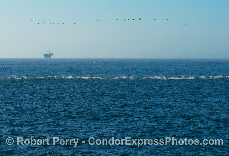 A long line of common dolphins (Delphinus capensis) in the water, and an airborn line of brown pelicans (Pelecanus occidentalis).