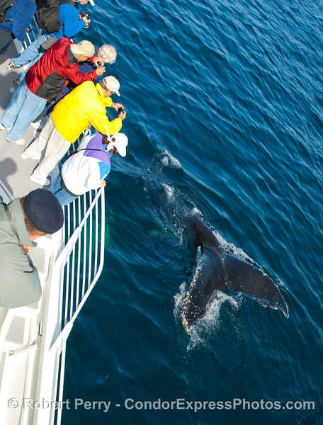 Photographers delight at the close proximity of this friendly Humpback Whale (Megaptera novangliae).