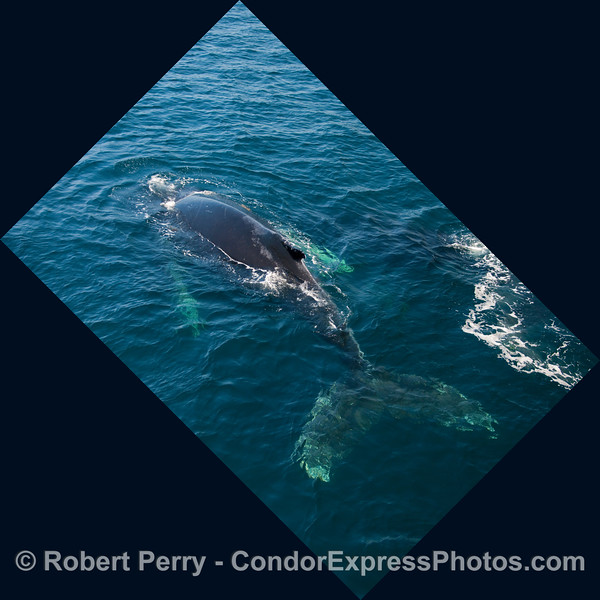 Another diving Humpback Whale (Megaptera novangliae) in blue water.
