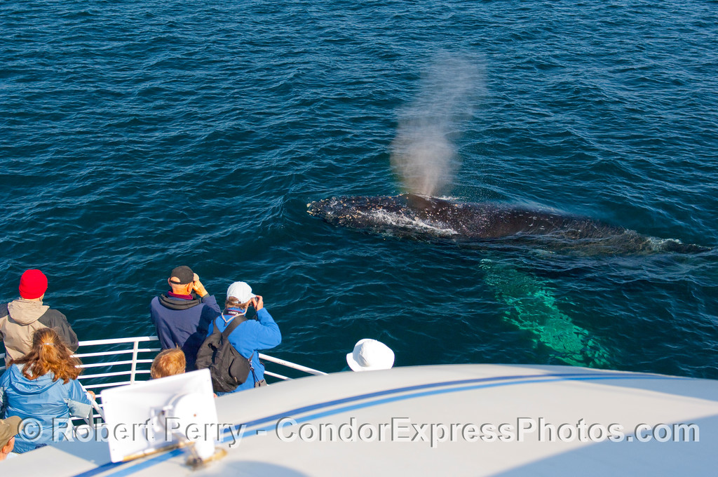 A friendly Humpback Whale (Megaptera novangliae) come up to the boat and spouts.