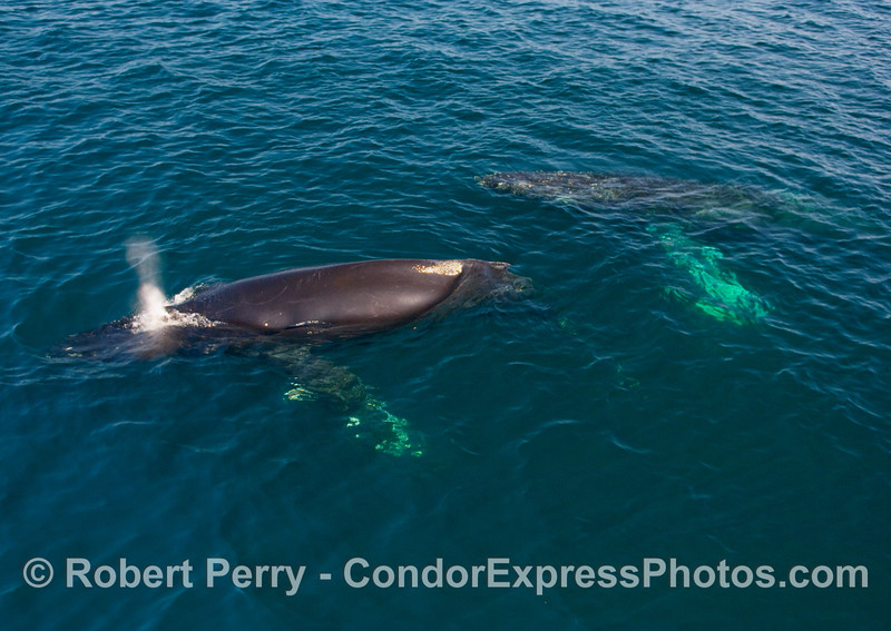 Part 2 of 2:  Two Humpback Whales (Megaptera novangliae) in blue water.