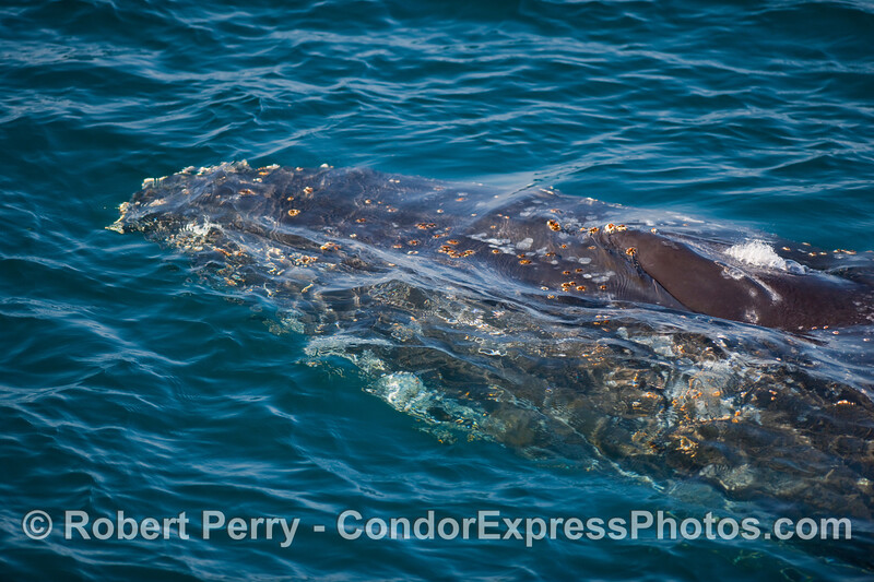 Humpback Whale (Megaptera novangliae) head with only the spashguard and spout  ready to pop through the surface layer.