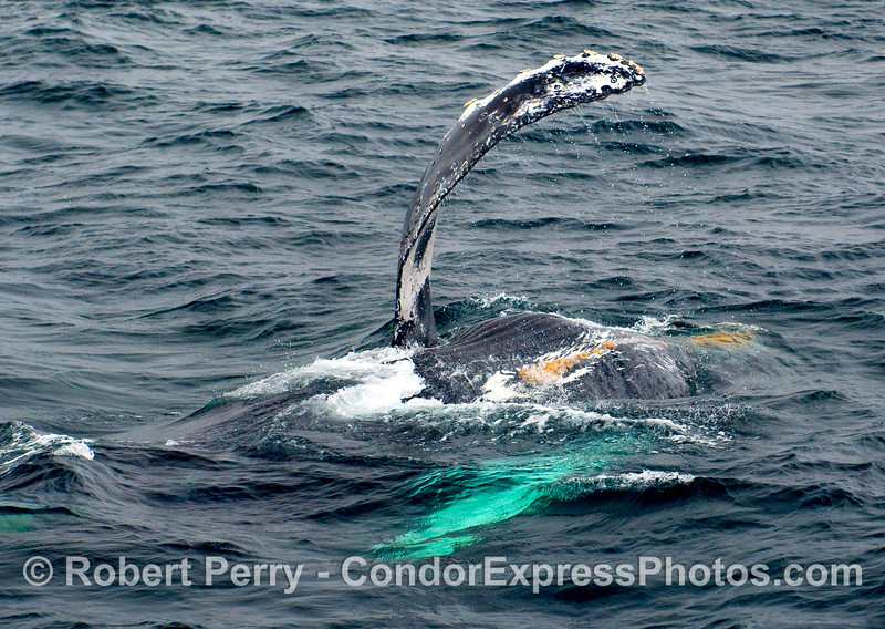 Image 1 of 2:  Here's a Humpback Whale (Megaptera novangliae) on its back, belly-up, ready to lower the boom.  Notice the ventral pleats and orange patches of ectoparasitic barnacles.