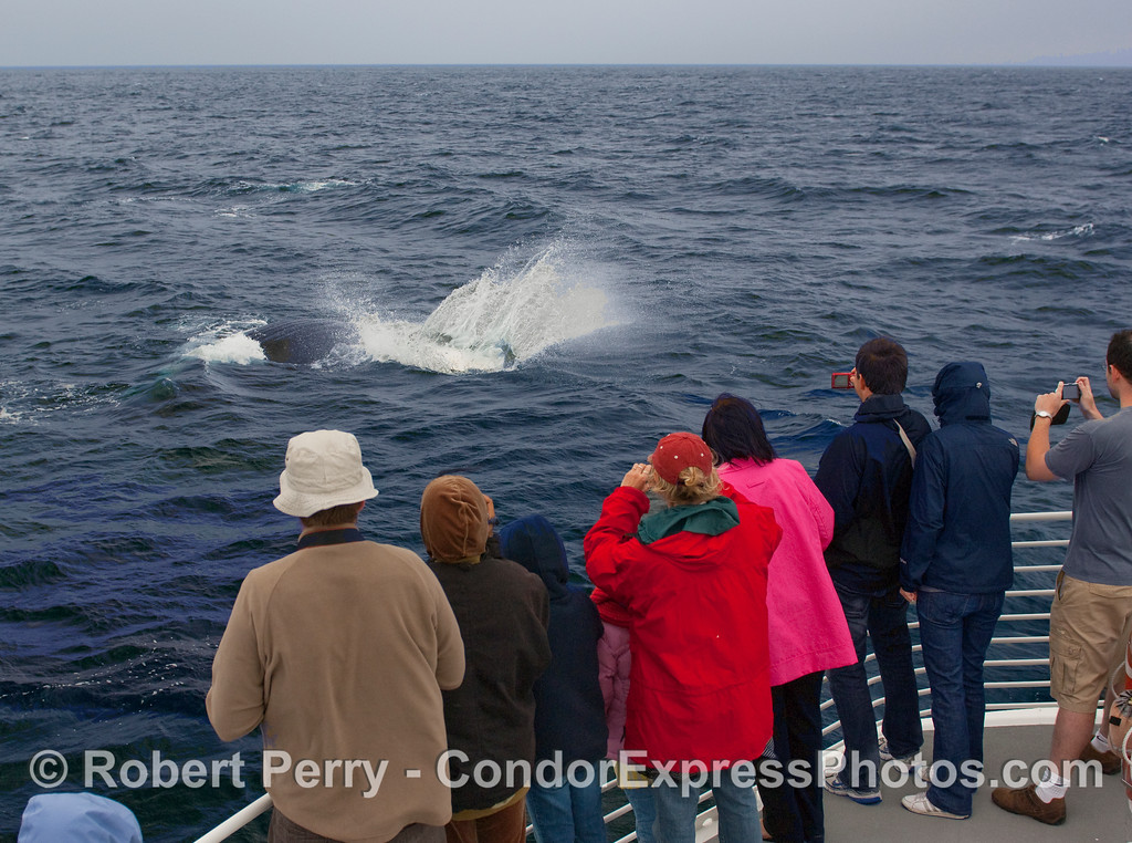 Passengers get to witness a Humpback Whale (Megaptera novangliae) slapping its pectoral fin close to the boat.