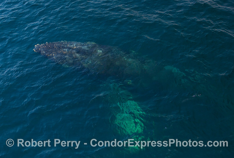 Still completely under water, a Humpback Whale (Megaptera novangliae) emerges from the deep.