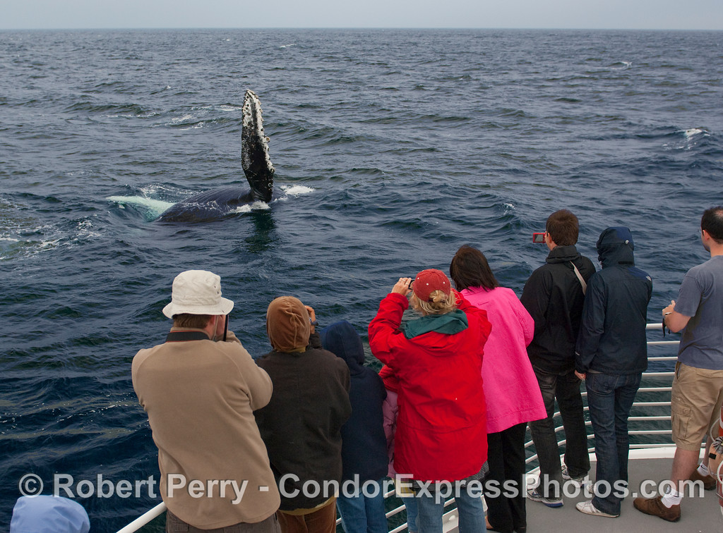 Passengers see a Humpback Whale (Megaptera novangliae) raise its pectoral fin for a big slap on the water.