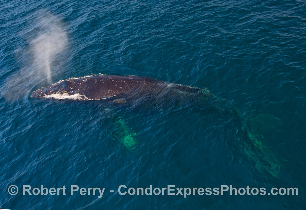 Profile of a 45-foot Humpback Whale (Megaptera novangliae) coming up for air.