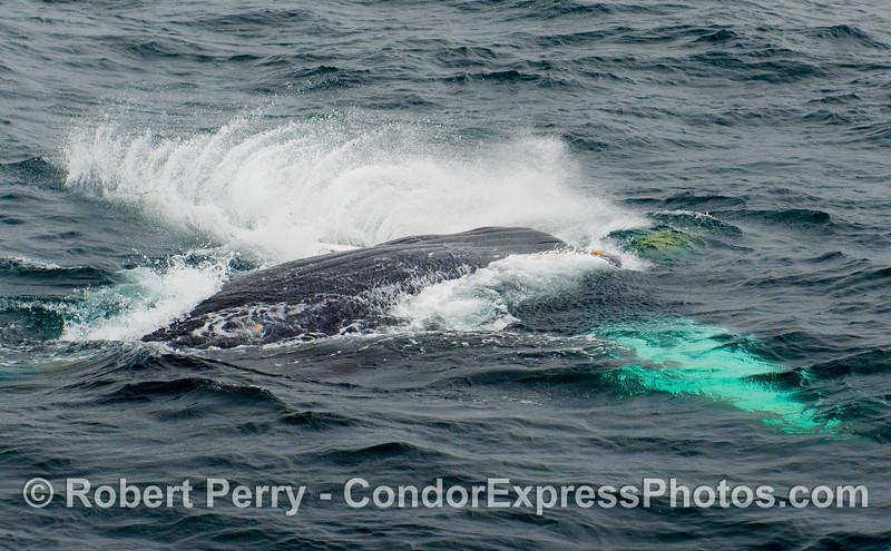 Image 2 of 2:   a Humpback Whale (Megaptera novangliae) drops the big hammer.