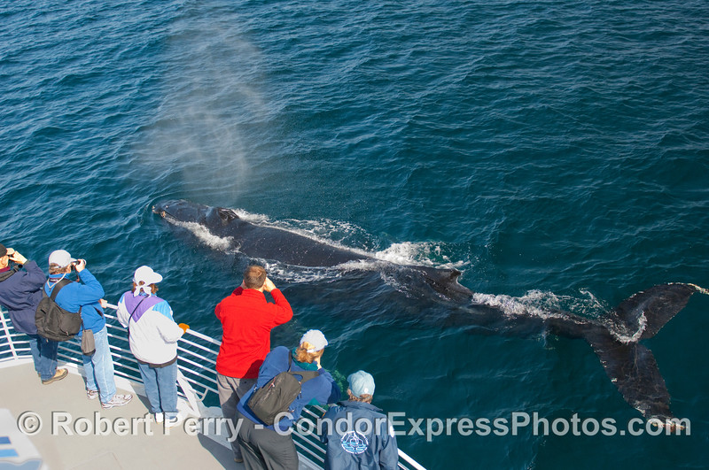 """This is what we call """"being mugged"""" by a Humpback Whale (Megaptera novangliae)."""