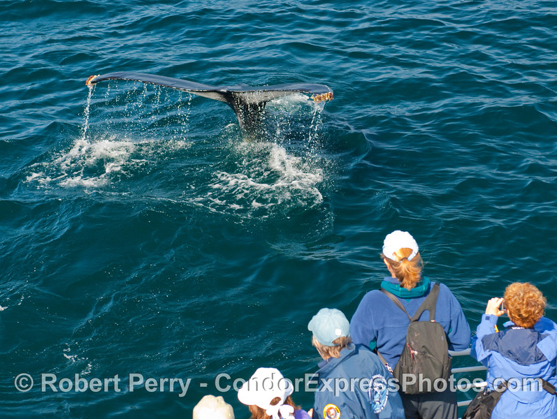 Passengers get a close look at a Humpback Whale (Megaptera novangliae) tail fluke.