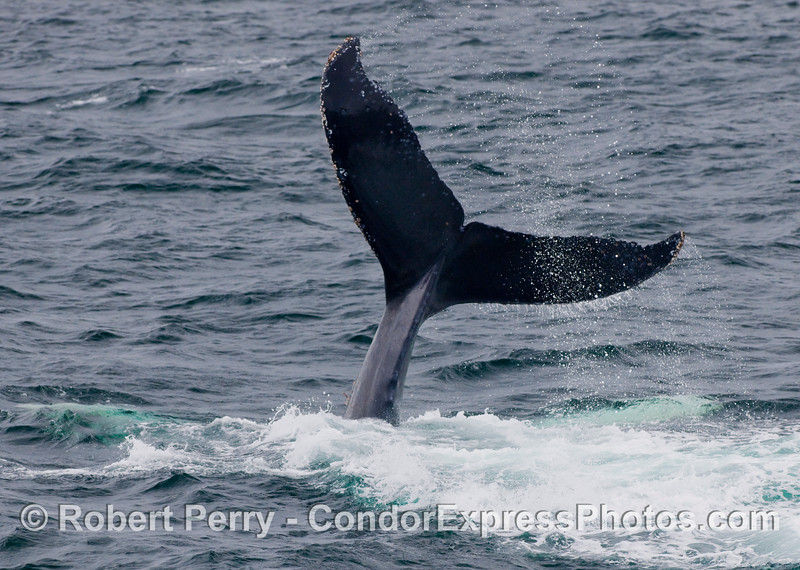 A Humpback Whale (Megaptera novangliae) lobs its tail, slamming it down on the water repeatedly.  Whumpffff!