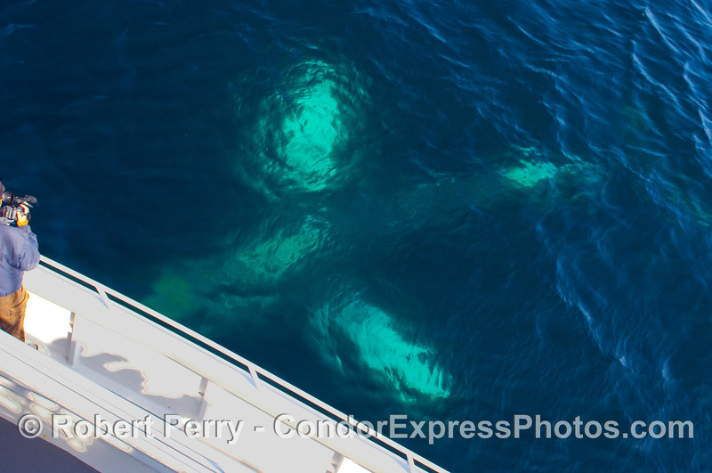 Ghostly image as a Humpback Whale (Megaptera novangliae) descends underneath the boat upside down, exposing the white undersides of its pectoral fins and belly.
