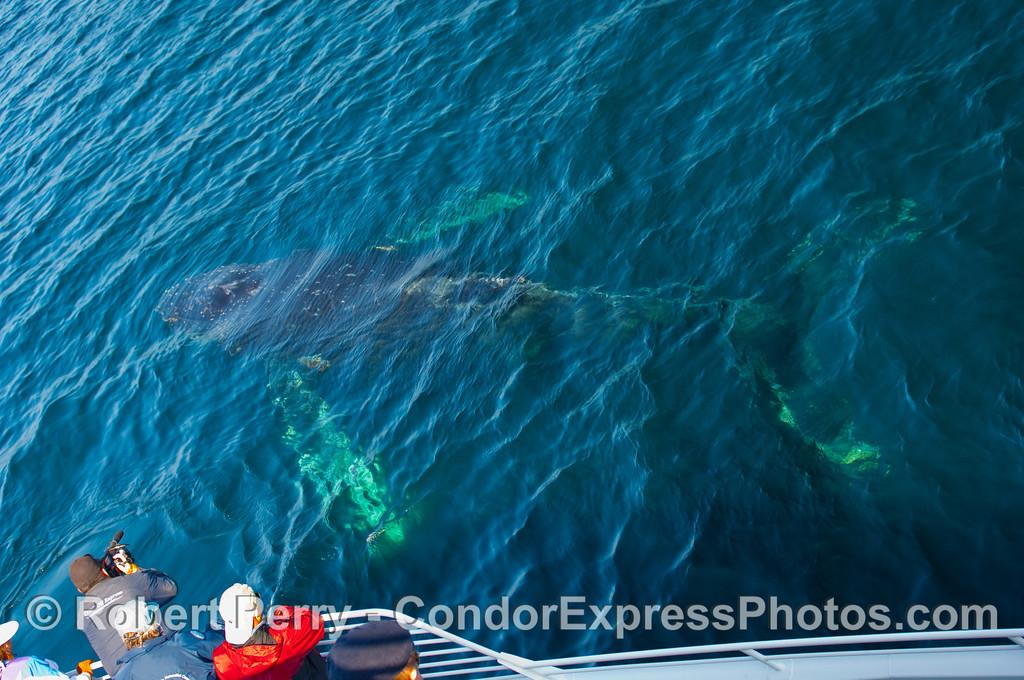 Boat, photographer and Humpback Whale (Megaptera novangliae).