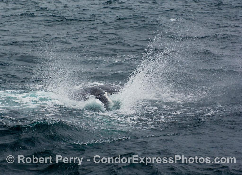 Ka-Boom!  A Humpback Whale (Megaptera novangliae) lets loose with a big pectoral fin slap.