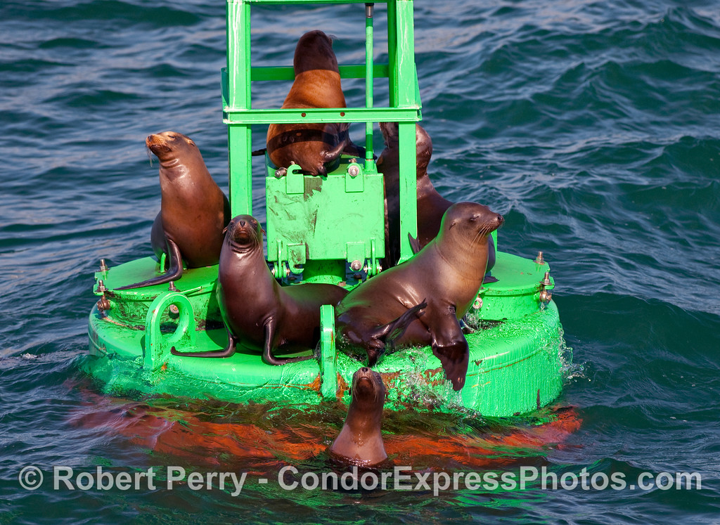 Curious California Sea Lions (Zalophus californianus) on the Harbor Buoy, Santa Barbara.