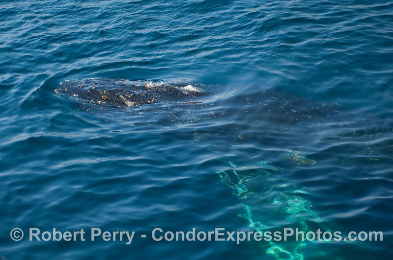 Another 2-shot sequence:  A Humpback Whale (Megaptera novangliae) comes out of the blue and is ready to spout and take a breath.  Image 1 of 2.