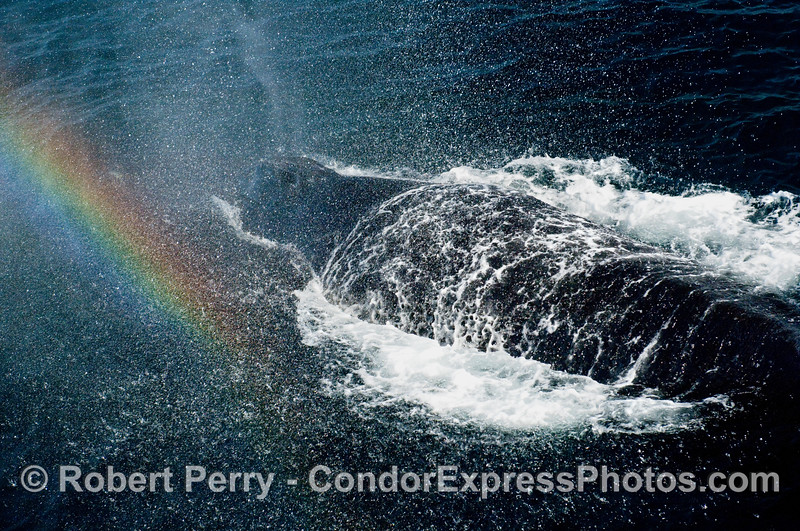 Complete Humpback Whale (Megaptera novangliae) shower - including a rainbow.