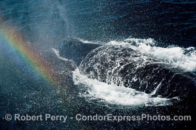 Complete Humpback Whale (Megaptera novangliae) shower - including a rainbow.