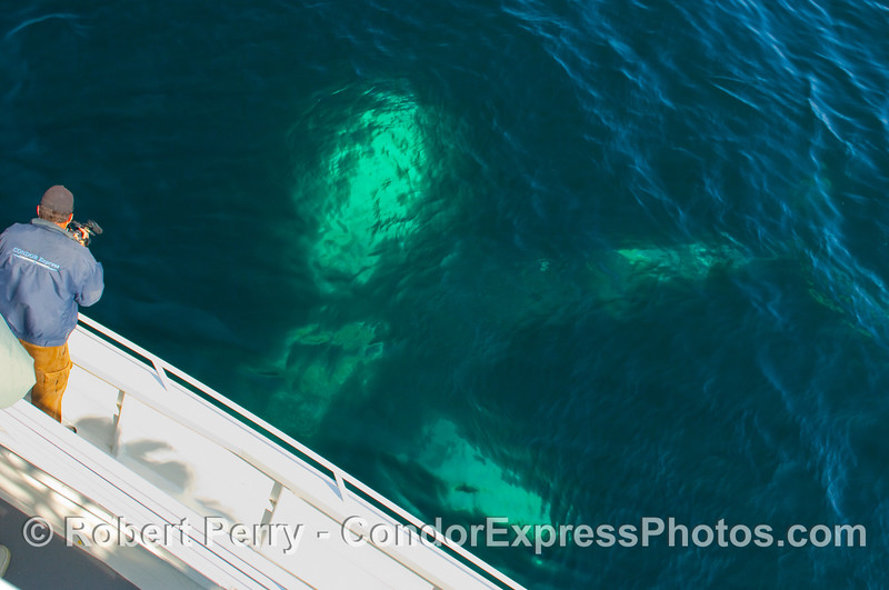 Ghost Humpback Whale (Megaptera novangliae), dives deep as the photographer captures the action.