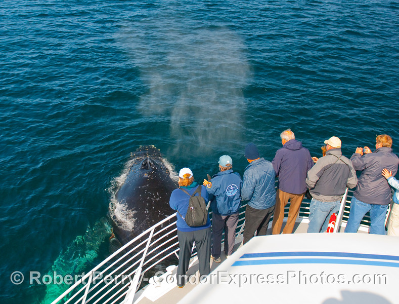 A Humpback Whale (Megaptera novangliae) comes up from direcly beneath the boat and gives the passengers a little whale breath to enjoy.  Very fragrant stuff, eh wot!