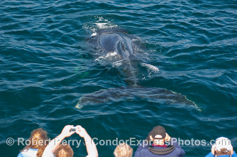 Hold those cameras up, there goes another Humpback Whale (Megaptera novangliae) on the bow of the Condor Express.