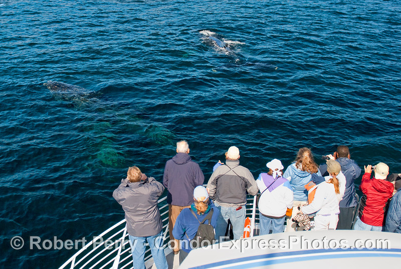 Passengers get to see two Humpback Whales (Megaptera novangliae) as they pass under the bow of the boat and come to the surface.