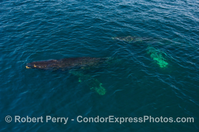 Part 1 of 2:  Two Humpback Whales (Megaptera novangliae) in blue water.