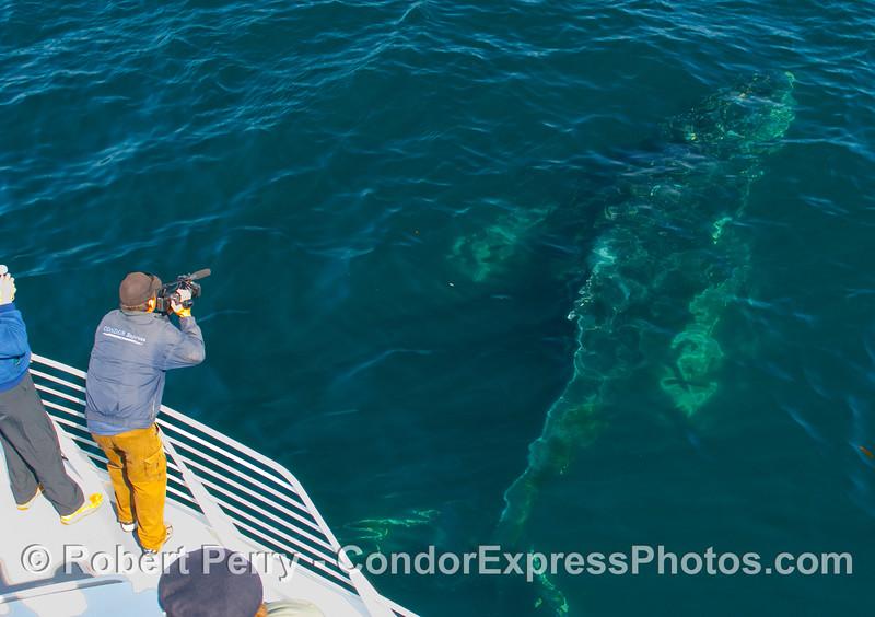 Megaptera novaengliae UW CLOSE alongside Condor Express & Beezer GOOD 2009 04-07 SB Channel - 0534