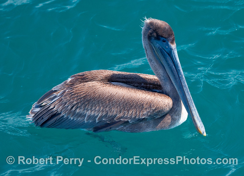 A Brown Pelican (Pelecanus occidentalis) swims by the boat.
