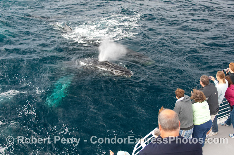 Twin Humpback Whales (Megaptera novangliae) go eye-to-eye with Condor Express passengers.