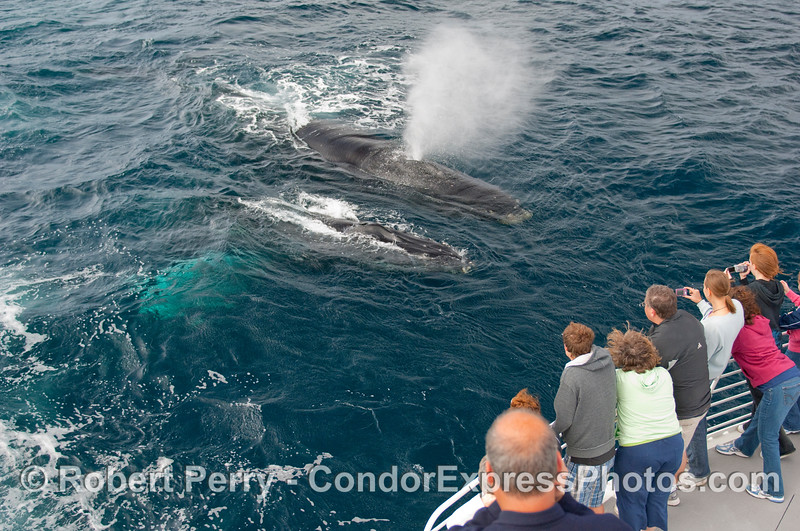 Two Humpback Whale (Megaptera novangliae) introduce themselves to the passengers on the bow of the Condor Express.