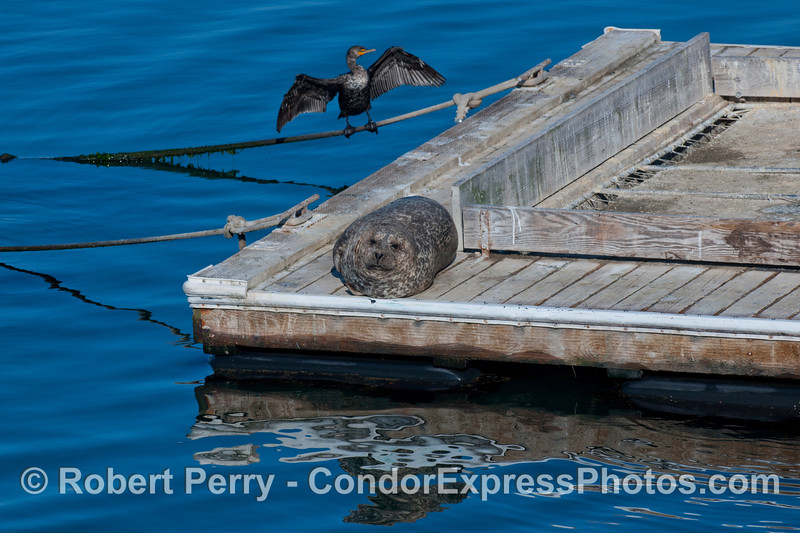 A chubby Harbor Seal (Phoca vitulina) rests in the morning sun on the Santa Barbara Harbor bait barge.  In back, a Brandt's Cormorant (Phalocrocorax penicillatus) spreads its wings.